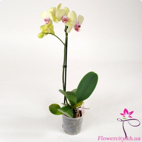 Орхидея Фаленопсис бледно-желтый 1 цв.
