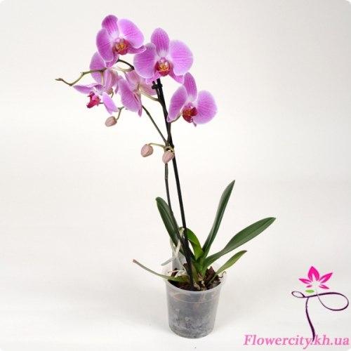 Орхидея Фаленопсис фиолетовый 1 цв.