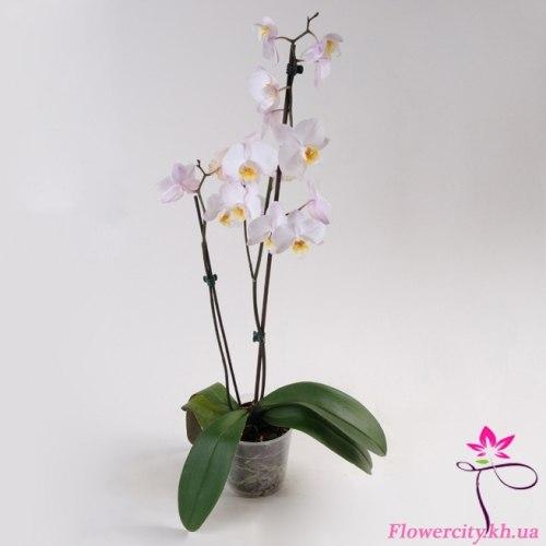 Орхидея Фаленопсис белый 2 цв.