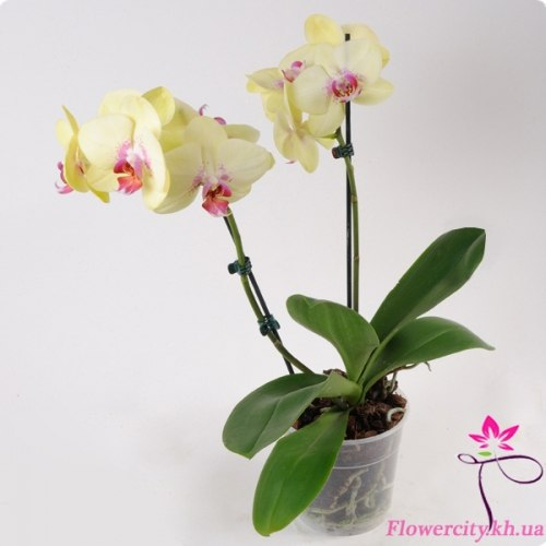 Орхидея Фаленопсис бледно-желтый 2 цв.
