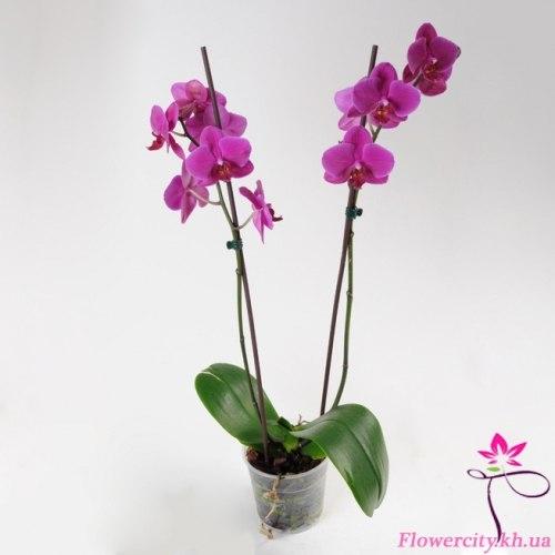 Орхидея Фаленопсис фиолетовый 2 цв.