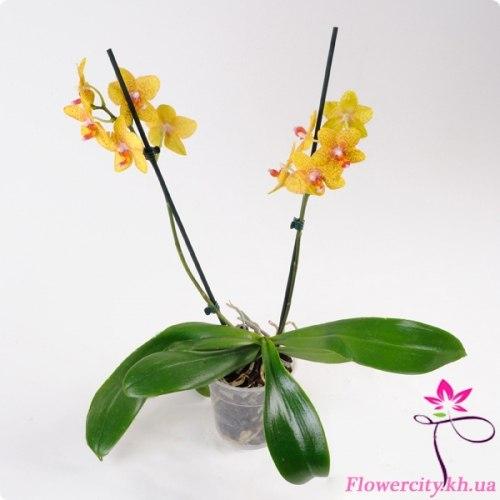Орхидея Фаленопсис желтый 2 цв.
