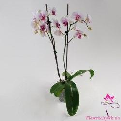 Орхидея Фаленопсис 2цв.
