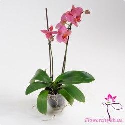 Орхидея Фаленопсис розовый 2 цв.