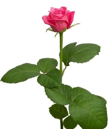"""Роза """"Аква"""" 51 шт."""