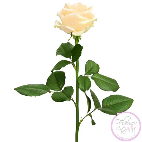 """Букет из Розы """"Пич Аваланч"""" 51 шт."""