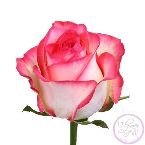 "Роза ""Джамиля"""