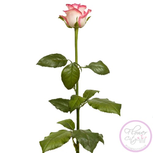 "Букет Роз ""Джамилия"" 51 шт."