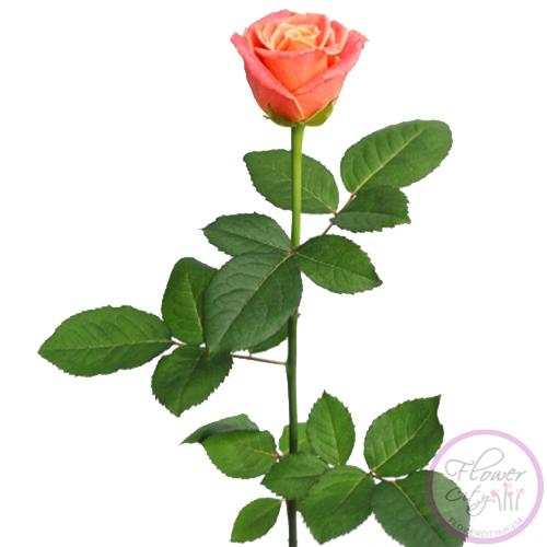 "Роза ""Мисс Китти"" 51 шт."