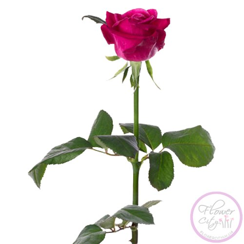 """Роза """"Шангри-Ла"""""""
