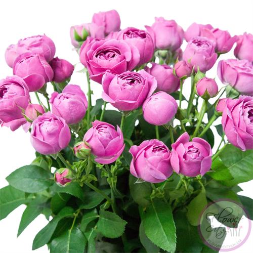 """Букет Пионовидных Роз """"Мисти Баблз"""" 25шт."""