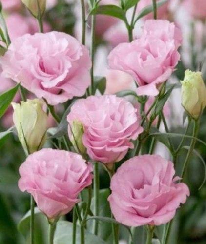 Розовая эустома