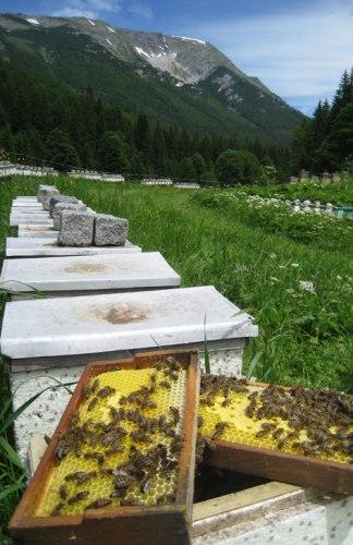 Пчелиные матки (карника)