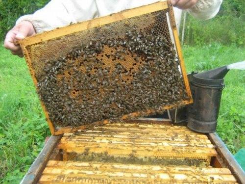 Пчелиные матки (карника, бакфаст)