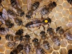 Пчелиные отводки (карника, бакфаст)