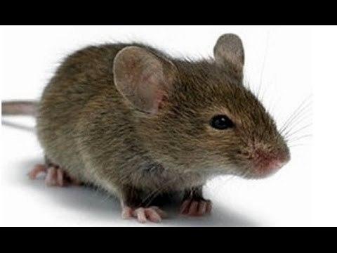 РАКТИН против крыс и мышей