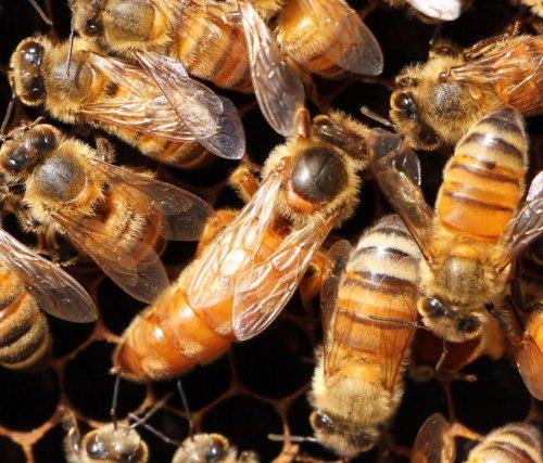 Пчелиная матка плодная (бакфаст)