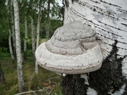 Топливо для дымаря гриб трутовик 0.5 кг