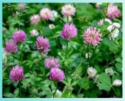Клевер розовый (гибридный)