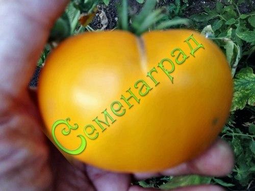 Семена томатов Лимонно-желтые, 1 уп.-20 семян - среднерослый, до 300 г, желтый, оранжевеющий, сладкий, ранний. Семенаград - семена почтой