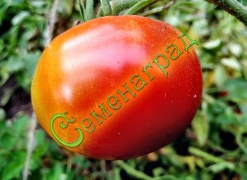 Семена томатов Перемога (20 семян - ранний, среднерослый, до 150 г, устойчивый)