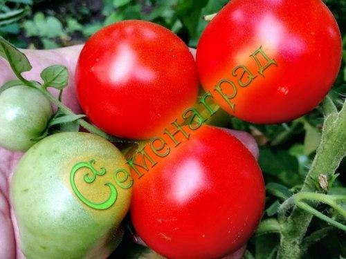 Семена томатов Подмосковная скороспелка (20 семян - среднерослый, ранний, до 150 г)
