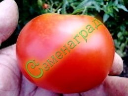 Семена томатов Ричай - 1 уп.-20 семян - среднерослый, ранний, до 200 г, урожайный, редкий. Семенаград - семена почтой