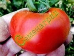Семена томатов Ротжерс, выведен в США - среднеранний, до 200 г, мощный, среднерослый, классика. Семенаград - семена почтой