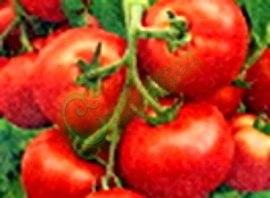 Семена томатов М-8, 1 уп.-20 семян - ранний, до 150 г, низкорослый, урожайный. Семенаград - семена почтой