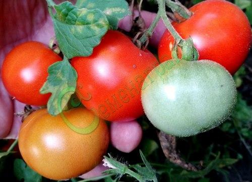 Семена томатов С-35 (20 семян - ранний, до 250 г, низкорослый)