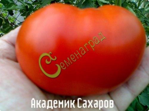 Семена томатов Академик Сахаров - высокорослый, до 500 г, всегда с урожаем, проверенный. Семенаград - семена почтой