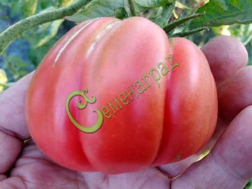 Семена томатов Аккордеон розовый - 1 уп.-20 семян - высокорослый, в форме гофрированной груши, розовый, сладкий, до 200 г, красавец. Семенаград - семена почтой
