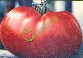 Семена томатов Алексеевский - 20 семян - высокорослый, до 700 г, салатный