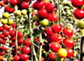 Семена томатов Американский сладкий розовый - 1 уп.-20 семян - высокорослый, до 60 г, длинные кисти, урожайный, красавец. Семенаград - семена почтой