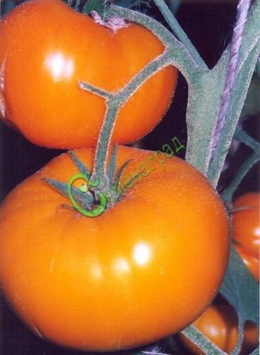 Семена томатов Ананас - 20 семян - высокорослый, до 250 г, оранжевый, сладкий