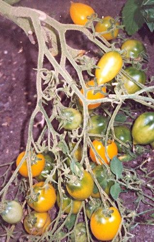 Семена томатов Анна Герман - высокорослый, до 100 г, желтый, овальный с кончиком, с огромными кистями, урожайнейший. Семенаград - семена почтой