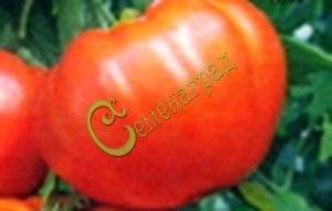 Семена томатов Аполлон, 1 уп.-20 семян - высокорослый, до 300 г, производит впечатление. Семенаград - семена почтой