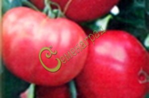 Семена томатов Аргеландер розовый - высокорослый, до 500 г, не подводит никогда. Семенаград - семена почтой