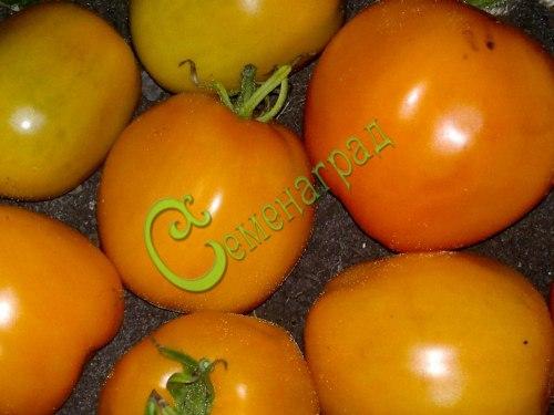 Семена томатов Астра ЖС - высокорослый, до 400 г, малосемянный, оранжевый, сладкий, отличный каждый год. Семенаград - семена почтой