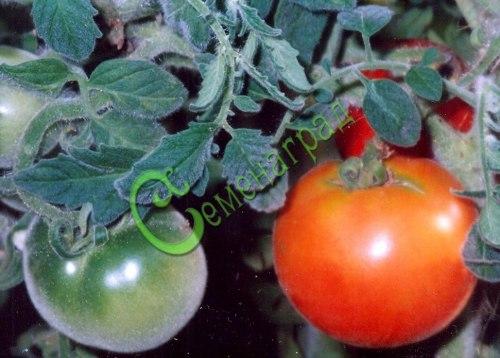 Семена томатов Бархатные - 20 семян - высокорослый, до 150 г, бархатные кусты и плоды