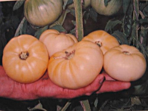 Семена томатов Белое чудо - 20 семян - высокорослый, до 300 г, белый, бескислотный