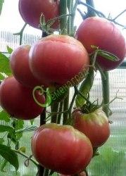 Семена томатов Бийская роза - 1 уп.-20 семян - высокорослый, до 700 г, малосемянный, урожайный. Семенаград - семена почтой