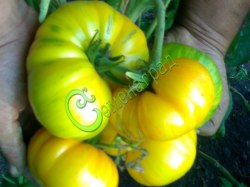 Семена томатов Большая жёлтая зебра - 1 уп.-20 семян - высокорослый, до 500 г, круглоплоский, жёлтый, в зелёную полоску. Семенаград - семена почтой