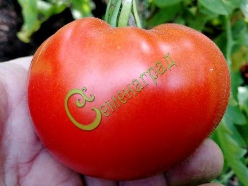 Семена томатов Бразильский великан, 1 уп.-20 семян - высокорослый, округлый, до 500 г, урожайный из года в год. Семенаград - семена почтой