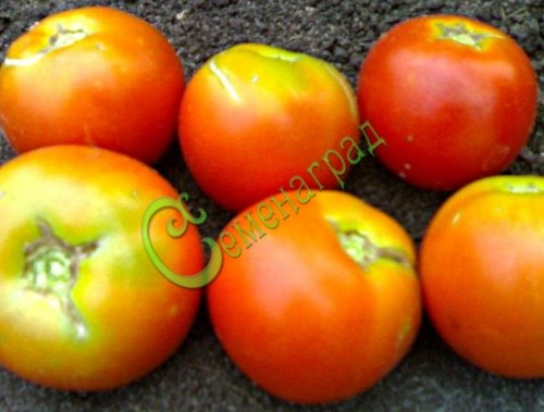 Семена томатов Вайнмон плюс - 1 уп.-20 семян - до 150 г, урожайный, впечатляет, очень энергичный, в росте до 5-6 м. Семенаград - семена почтой