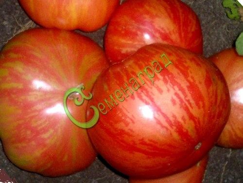 Семена томатов Винтейдж Вайн - 1 уп.-20 семян - высокорослый, круглый, до 300 г, жёлто-розовый, в красную полоску. Семенаград - семена почтой