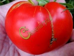 Семена томатов Волгоградский титан - 1 уп.-20 семян - высокорослый, до 300 г, хорош и надёжен. Семенаград - семена почтой