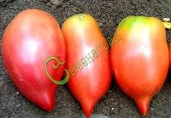 Семена томатов Воловье ухо - 1 уп.-20 семян - высокорослый, до 200 г, розовый, с носиком, впечатляет. Семенаград - семена почтой