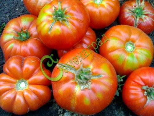 Семена томатов Выставочник - 1 уп.-20 семян - высокорослый, до 700 г, красавец. Семенаград - семена почтой