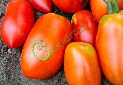 Семена томатов Гибрид-1 Тарасенко - 1 уп.-20 семян - высокорослый, до 100 г, удлинённый, с носиком, урожайный. Семенаград - семена почтой